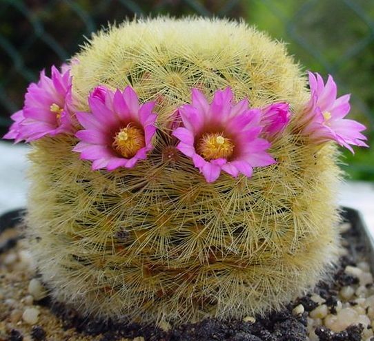 Name:  Mammillaria carmenae x lauii.jpg