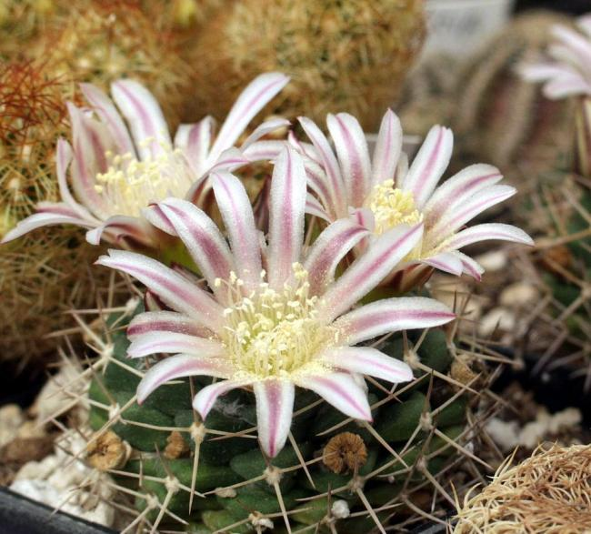 Name:  Mammillaria boelderliana - GK4410-91 - Photo  Aymeric de Barmon.jpg