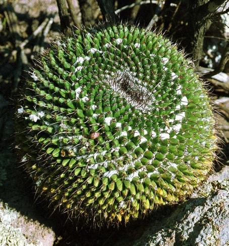 Name:  Mammillaria gigantea.jpg