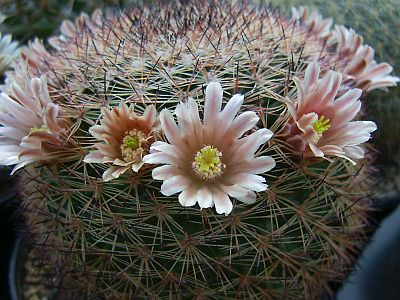 Name:  Mammillaria grusonii (syn. M. pachycylindrica ) - Photo  Hugo De Cock.jpg