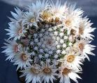 Name:  Mammillaria heyderi ssp heyderi - Photo  Hugo De Cock.jpg