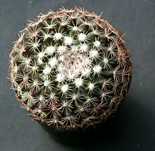 Name:  Mammillaria heyderi ssp gaumeri - Photo  Hugo De Cock 2.jpg