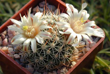 Name:  Mammillaria johnstonii (SB432) - Photo  Josef Matousek.jpg