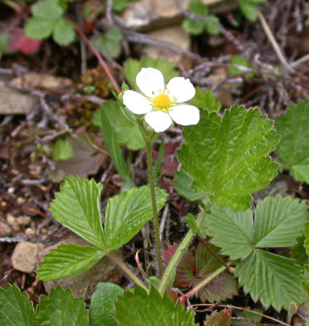 Name:  fragaria-vesca-1.jpg