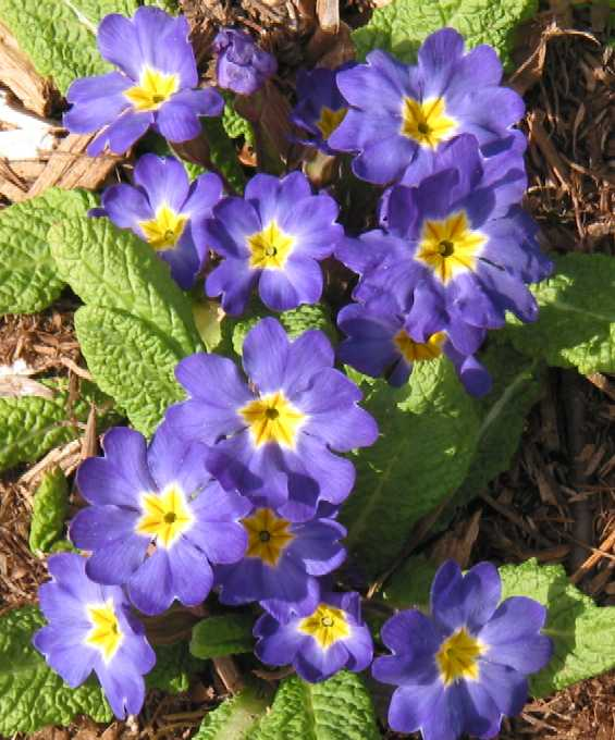 Name:  Primula vulgaris.jpg