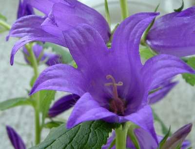 Name:  Campanula latifolia1.jpg Views: 1076 Size:  57.8 KB