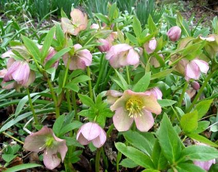 Name:  Helleborus orientalis.jpg Views: 13626 Size:  40.9 KB