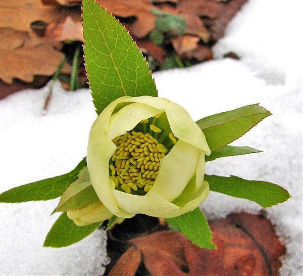 Name:  Helleborus orientalis1.jpg Views: 3687 Size:  55.7 KB