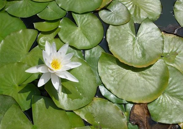Name:  Nymphaea alba.jpg