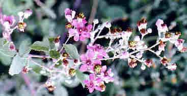 Name:  Rubus sanctus.jpg Views: 2959 Size:  7.8 KB