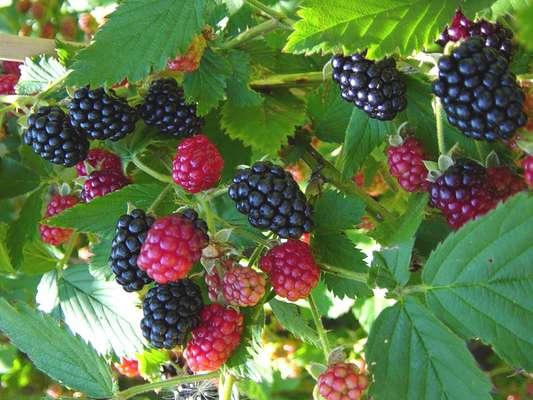 Name:  Rubus sanctus1.jpg Views: 8614 Size:  62.6 KB