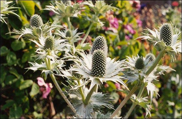 Name:  Eryngium giganteum.jpg Views: 1269 Size:  65.2 KB