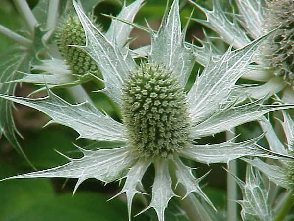 Name:  Eryngium giganteum1.jpg Views: 3480 Size:  59.2 KB