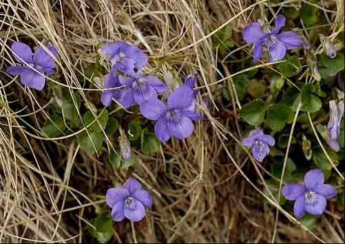 Name:  Viola reichenbachiana.jpg Views: 1045 Size:  69.2 KB
