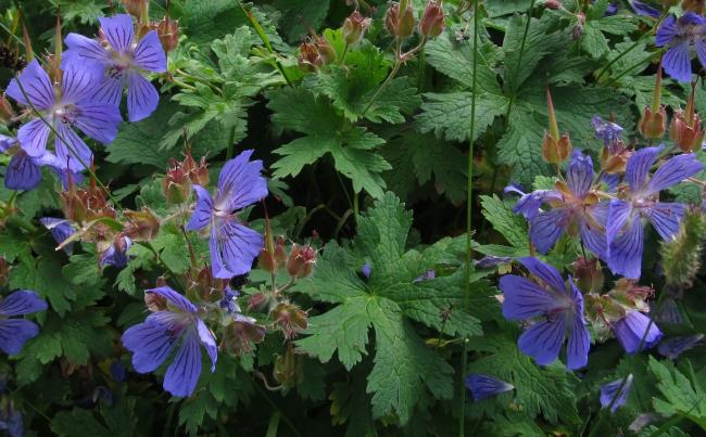 Name:  turnagagası- (Geranium ibericum) yukarı kavrun.jpg Views: 665 Size:  57.8 KB