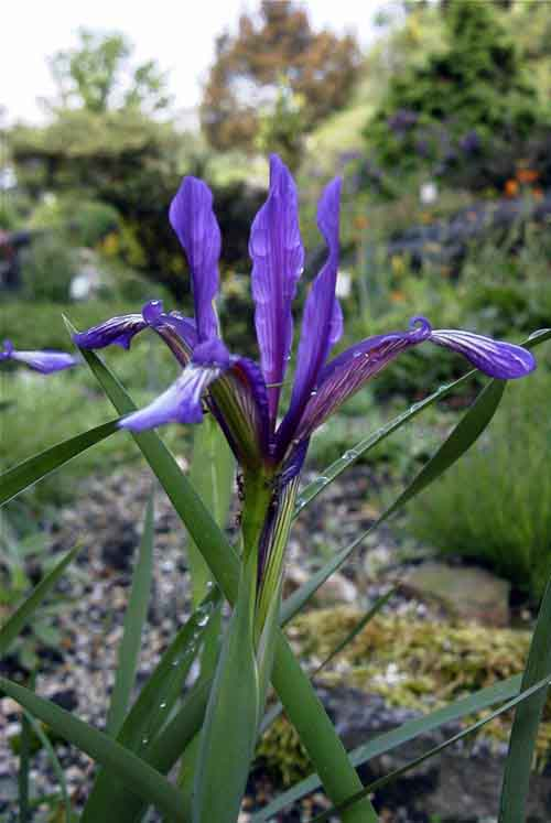 Name:  Iris%20sintenisii.jpg