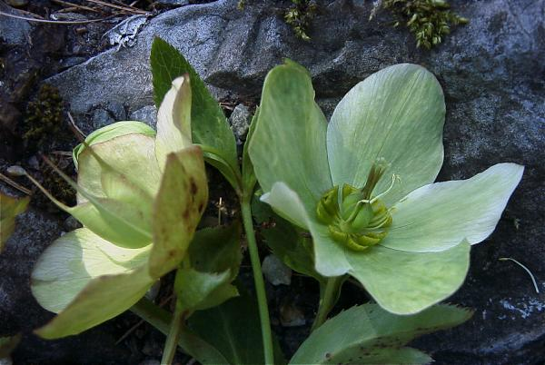 Name:  Helleborus%20orientalis%2078BL00206%20a.jpg