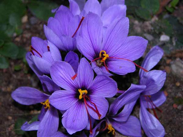 Name:  Crocus-sativus-380.jpg Views: 13331 Size:  42.4 KB