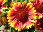 Name:  gaillardia.jpg