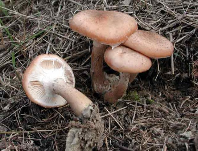 Name:  Armillaria_bulbosaGR.jpg