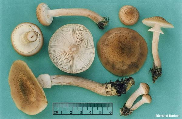 Name:  nadon_armillaria_ostoyae_04.jpg