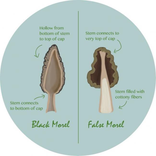 Name:  morel-mushroom-identification 2.jpg Views: 2012 Size:  27.0 KB