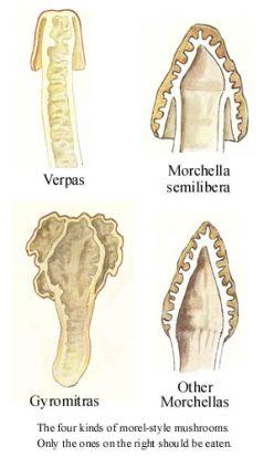 Name:  morel-mushroom-identification 3.jpg Views: 3603 Size:  16.6 KB