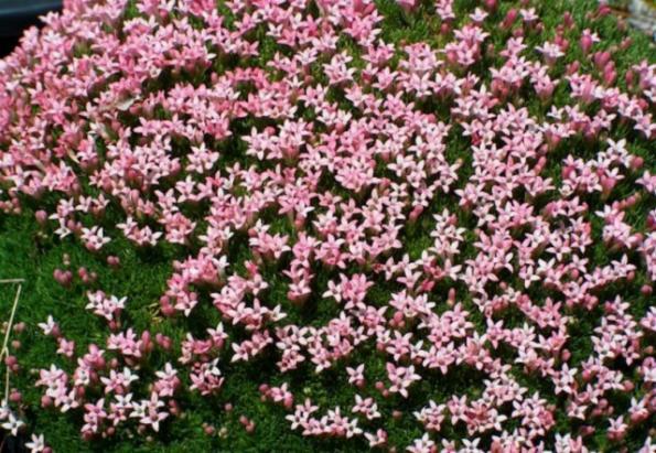 Name:  Asperula sintenisii2 [800x600] [640x480].jpg Views: 2641 Size:  73.2 KB