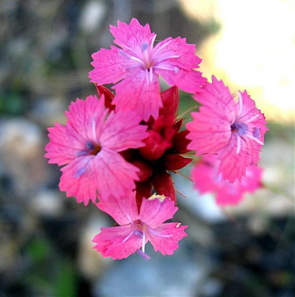 Name:  Dianthus calocephalus.jpg