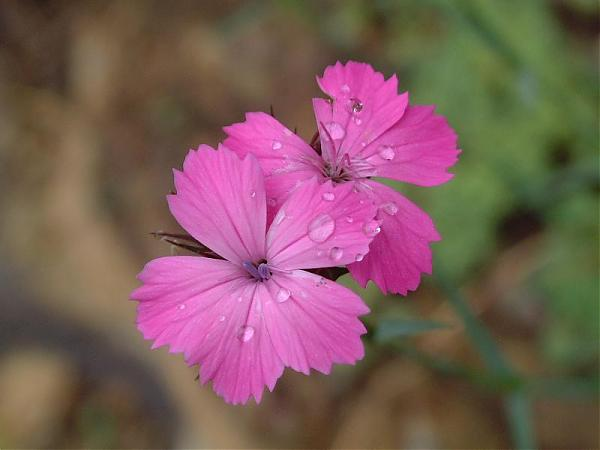 Name:  Dianthus calocephalus1.jpg