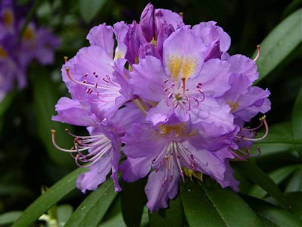 Name:  Rhododendron-ponticum.jpg Views: 21191 Size:  38.5 KB