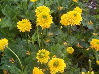 Name:  Ranunculus constantinopolitanus.jpg Views: 1585 Size:  41.3 KB