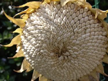 Name:  Ayçiçeği.jpg Views: 7865 Size:  40.3 KB