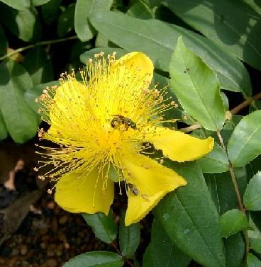 Name:  Hypericum calycinum1.jpg Views: 5512 Size:  51.0 KB