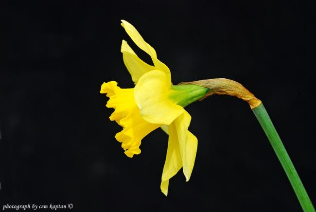 Name:  Narcissus_Pseudonarcissus-Zerrin-ist-Amaryllidaceae.jpg