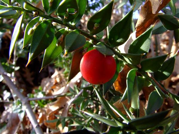 Name:  ruscus.jpg