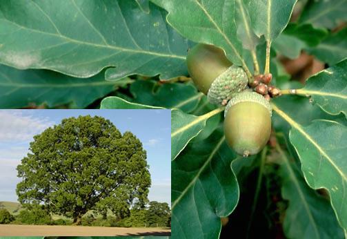 Name:  Quercus-petraea-Sessile-oak-tree-ir.jpg Views: 7834 Size:  59.0 KB