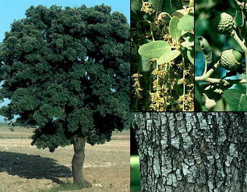 Name:  Quercusilex.jpg Views: 2720 Size:  41.9 KB