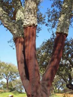 Name:  cork-oak-photo.jpg