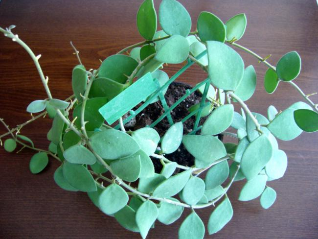 Name:  Hoya nummularioides-1.jpg