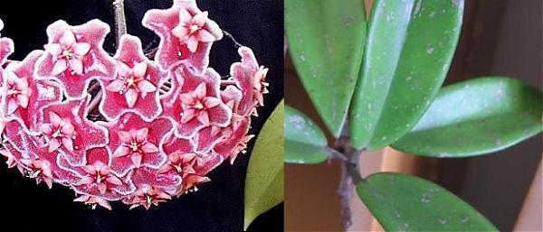 Name:  Hoya Pubicalyx Silver Pink (Yabancı Tür).jpg Views: 4091 Size:  33.1 KB