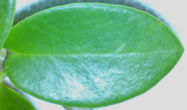 Name:  Hoya-cummingii-leaf.jpg Views: 10400 Size:  24.5 KB
