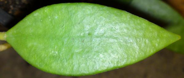 Name:  Hoya-micrantha-leaf.jpg Views: 8011 Size:  18.9 KB