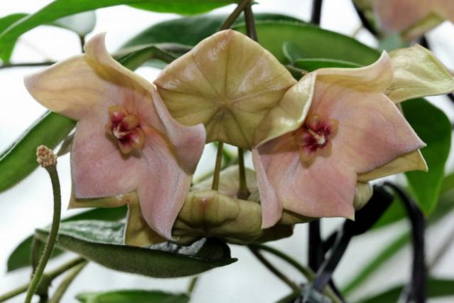 Name:  Hoya megalantha.jpg