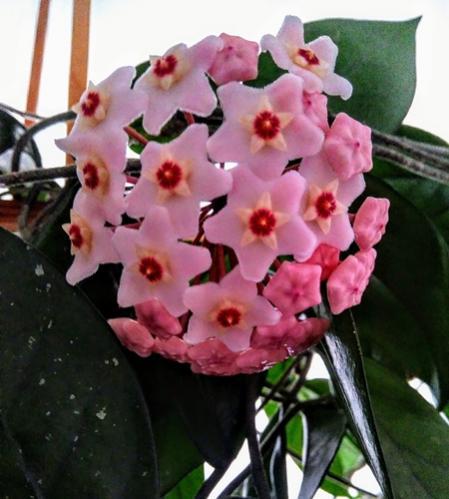 Name:  hoya cornosa.jpg Views: 347 Size:  35.0 KB