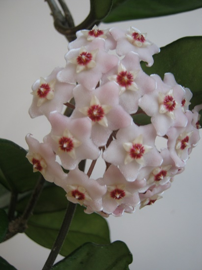 Name:  hoya carnosa.jpg