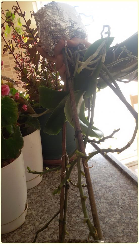 Name:  Peloric Phalaenopsis1.jpg Views: 7507 Size:  75.6 KB