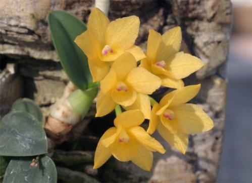 Name:  Soph. cernua  f. aurea'Kanae'.jpg Views: 11691 Size:  24.0 KB
