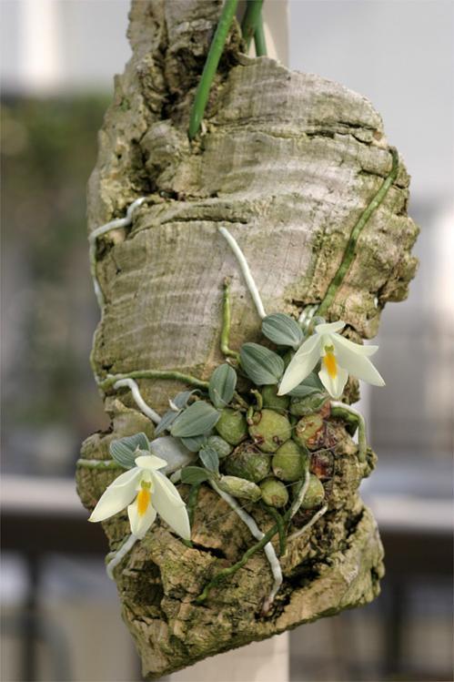 Name:  Constantia cipoensis.jpg Views: 17394 Size:  54.9 KB