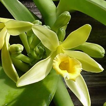 Name:  vanilla-planifolia.jpg